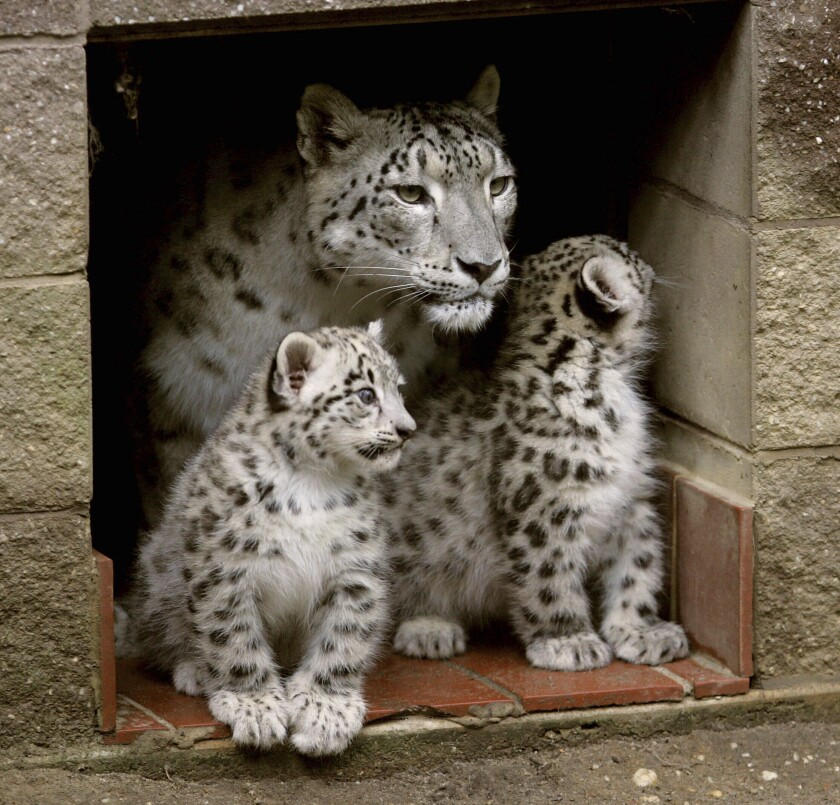 """FILE - In this July 15, 2010, file photo, two snow leopard cubs born two months earlier stand next to their mother, Himani, at the entrance to their den at the Cape May County Zoo in Cape May Court House, N.J. Himani, who gained national attention for giving birth to seven cubs, has died at 17 years old, the zoo said Sunday, Feb. 14, 2021. Himani, who reared four litters of cubs at a time when snow leopard breeding success was at a low point, was """"peacefully euthanized following a battle with cancer"""" on Friday, according to a press release from Cape May County. (Dale Gerhard/The Press of Atlantic City via AP, File)"""