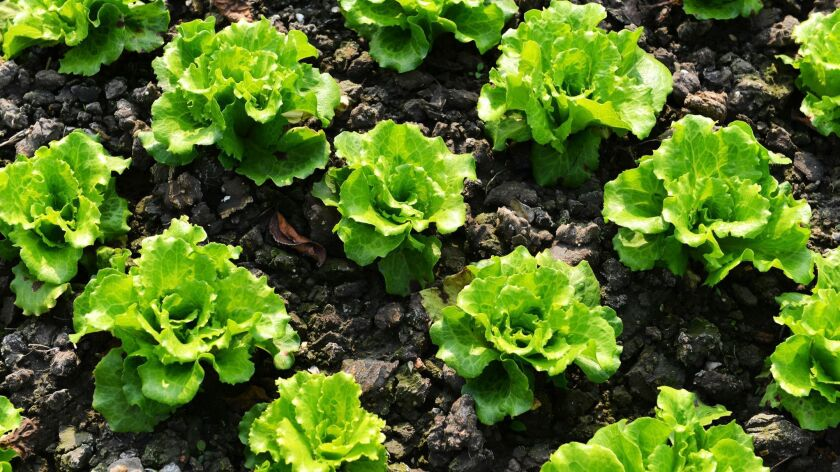 Romaine lettuce E. coli contamination claims more victims
