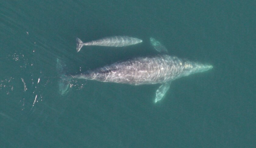 Gray whales migration - Gray whale cow and calf - Photo by Wayne Perryman, NOAA Cetacean Health and Life History Program