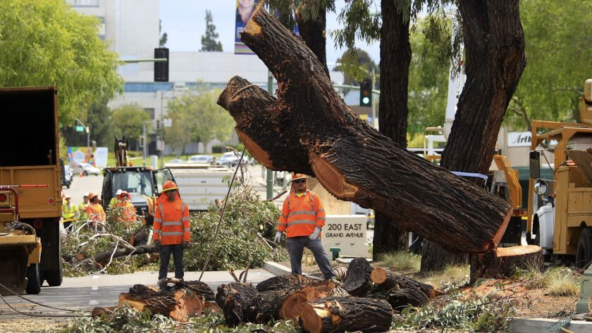 The large base of a eucalyptus tree on Grand Avenue in downtown Escondido falls down Monday where th