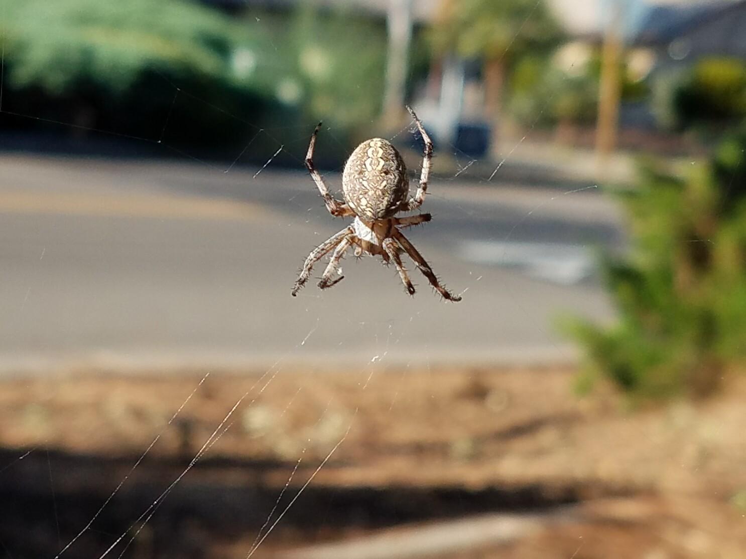 Arañas tejedoras de orbe:
