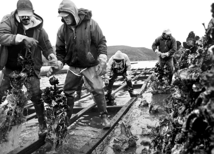 Feds file legal brief in Marin County oyster farm case