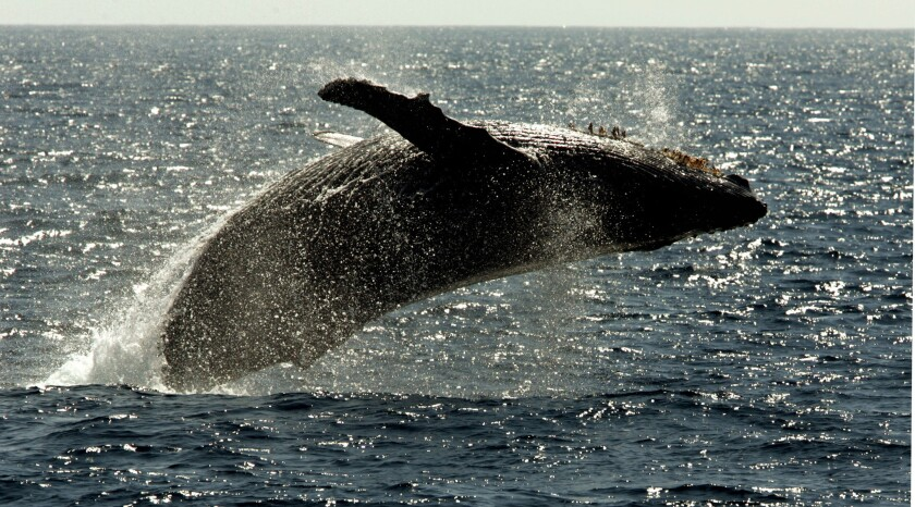 A humpback whale leaps out of the water in what is called breaching.