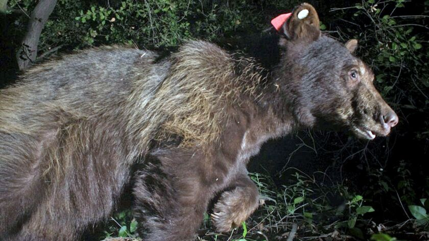 """""""Red Bear #2"""" was captured by a trap camera in the Verdugo Mountains on July 29, 2016, more than"""