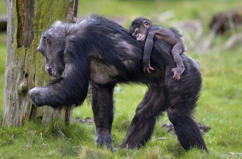 German chimps