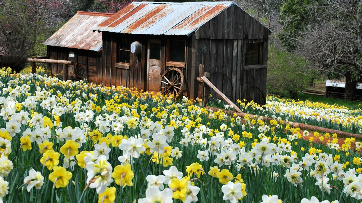 Daffodil Hill, a once-hidden gem, has closed after crush of