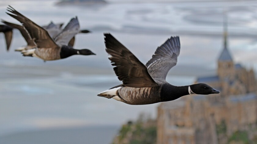 """Brent geese fly over Mont-Saint-Michelle in """"Earthflight"""" on BBC America."""