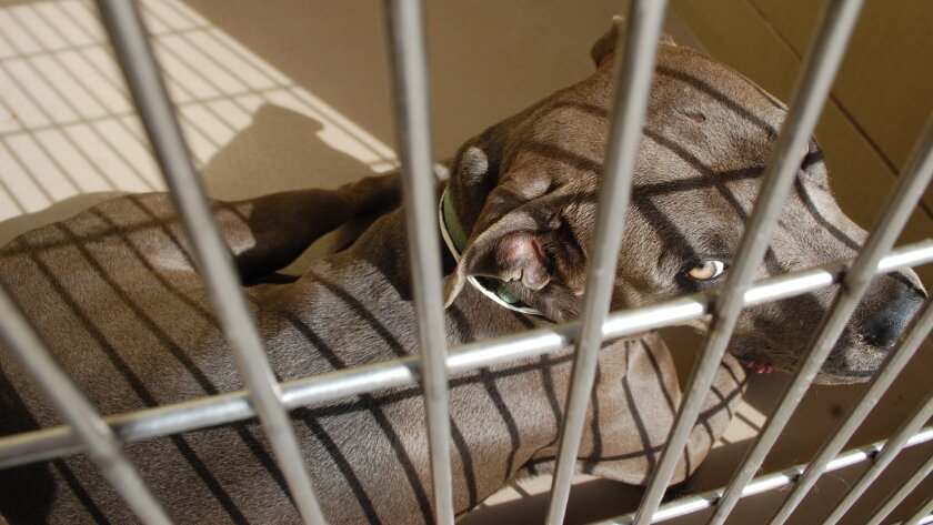 A pit bull waits to be adopted at the animal shelter in Riverside. Riverside County supervisors on Tuesday will consider requiring the owners of pit bulls to sterilize the dogs. The requirement would apply to anyone who lives in the unincorporated areas of the county.