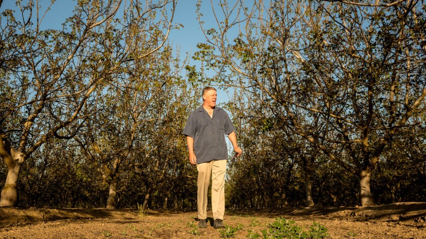 SELMA, CA APRIL 12, 2018 -- Mike Poindexter walks through one of his walnut orchards. President Tru