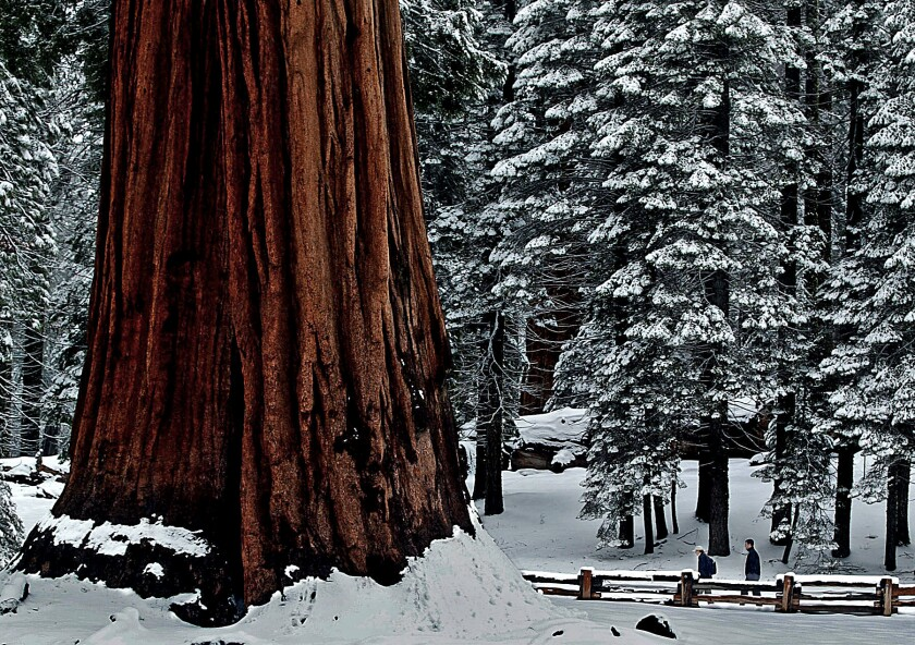 A pair of hikers trod through a blanket of fresh snow Wednesday along Big Trees Trail in Sequoia National Park.