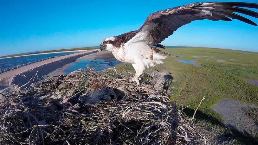 Fotograma extraído de un vídeo, fechado el 9 de marzo de 2018, que muestra un ejemplar de Águila Pescadora (Pandion haliaetus), en manglares de Baja California Sur (México). EFE/MEJOR CALIDAD DISPONIBLE