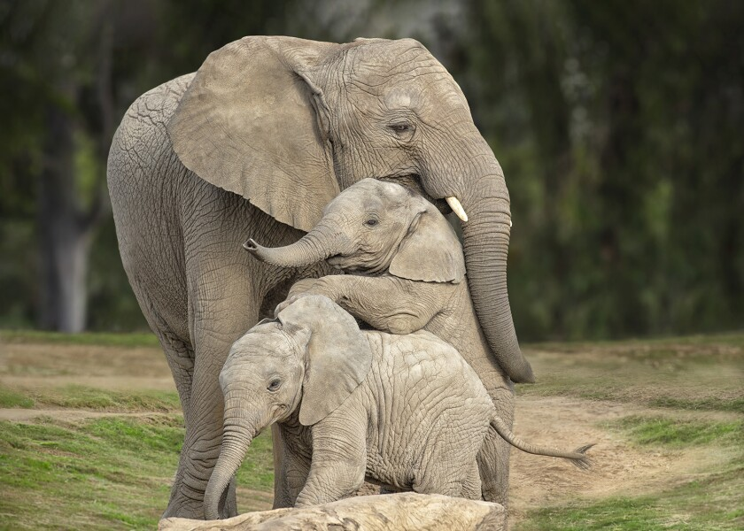 """Elephants are featured in the new series """"The Zoo: San Diego"""" on Animal Planet"""