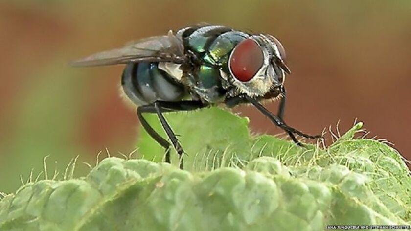 Los gérmenes que transportan las moscas
