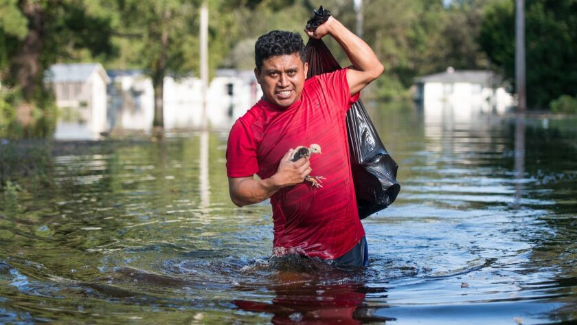 Luis Gomez rescues baby chicks from floodwaters near the Todd Swamp on Sept. 21, 2018, in Longs, S.C. Floodwaters were expected to rise in the area through the weekend.