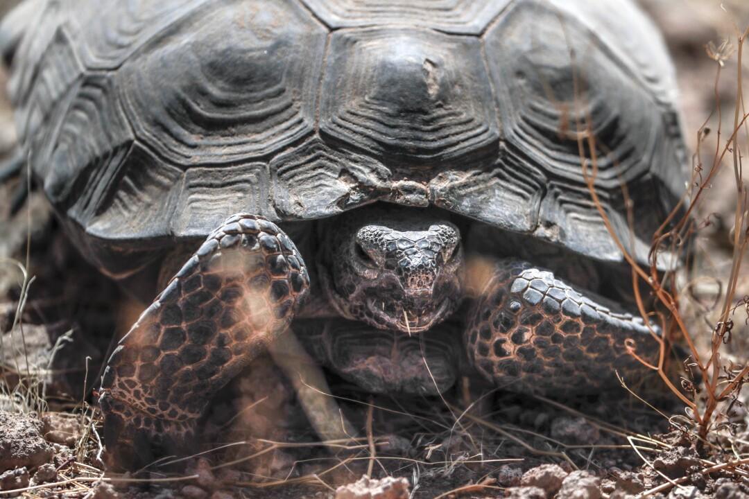A desert tortoise in the Mojave Desert near Kramer Junction.