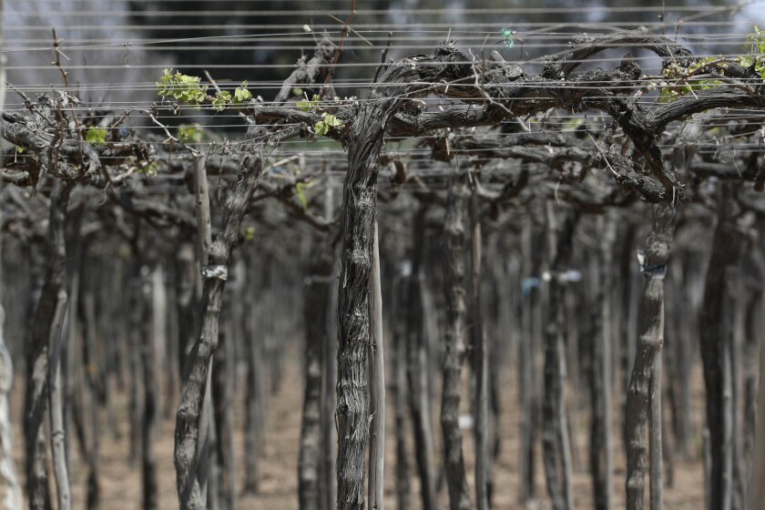 A closeup of vines in a vineyard in Ica, Peru, on Sept. 28.
