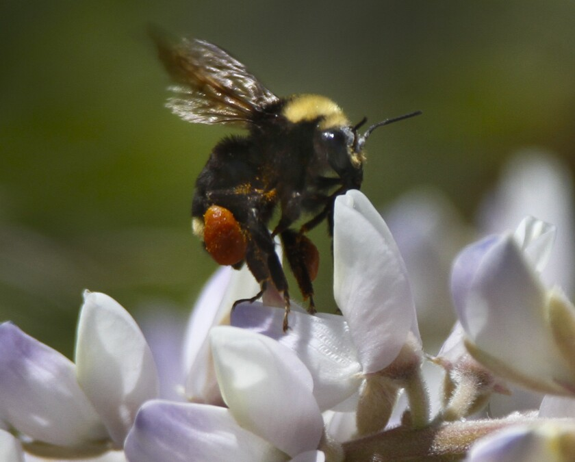 """A new study suggests bumble bees """"merge"""" memories."""