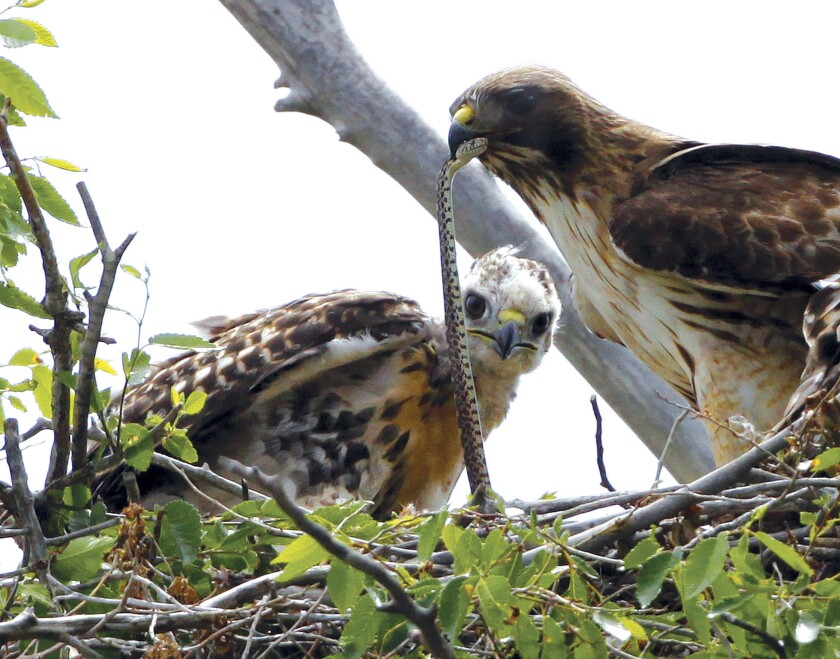 FILE - This June 5, 2009, file photo shows a Redtail hawk feeding a snake to one of her young ones nested at the Rocky Mountain Wildlife Refuge in Commerce City, Colo. The Migratory Bird Treaty Act of 1918 is a vital tool for protecting more than 1,000 species of birds including hawks and other birds of prey. (AP Photo/Ed Andrieski, File)