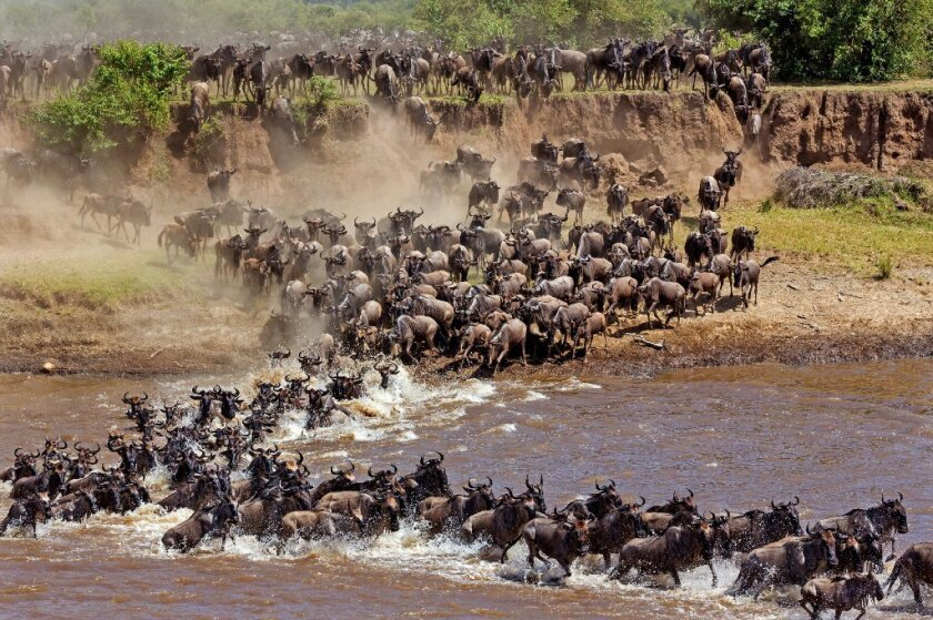 Get a firsthand look at a dramatic wildebeest migration across the  Serengeti - Los Angeles Times