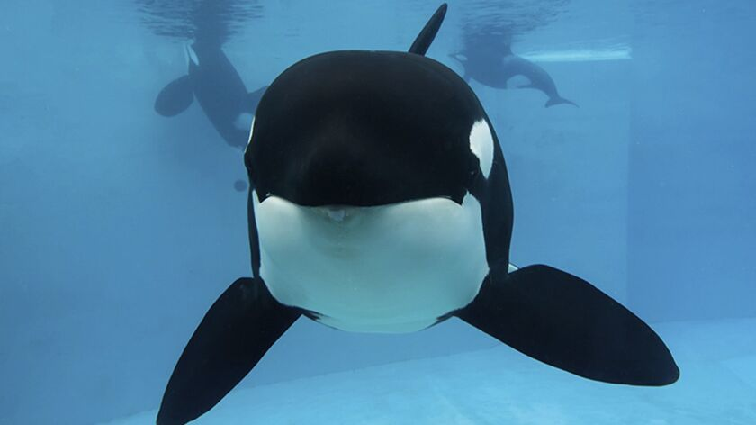 This undated photo provided by SeaWorld shows Kasatka, one of the entertainment company's last kille