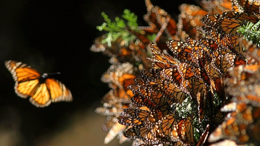 "Picture of a monarch butterflies ""Danaus"