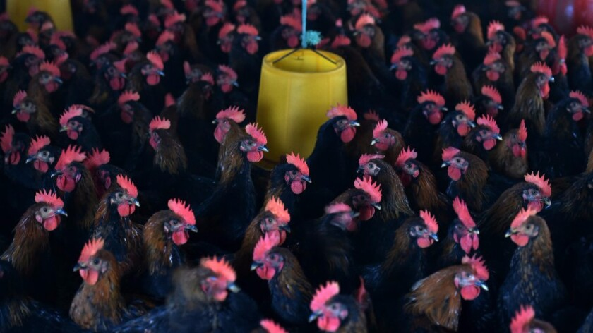 Chickens are seen in their enclosure at a poultry farm in China's Anhui province. Scientists say the worldwide practice of feeding antibiotics to livestock has helped fuel the rise of drug-resistant bacteria.
