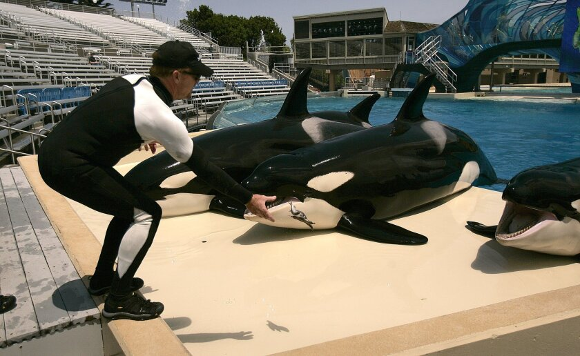 SeaWorld San Diego trainer Robbin sheets feeds the killer whales at the end of a Shamu show rehearsal.