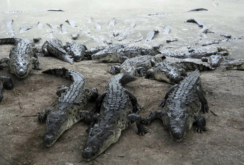 Crocodiles climb a mud bank toward workers, at a farm owned by the Rosenthal family in San Manuel Cortes, northern Honduras, Wednesday, Nov. 4, 2015. Thousands of crocodiles on the private farm have been poorly fed because of a lack of resources, according to authorities and employees at the proper