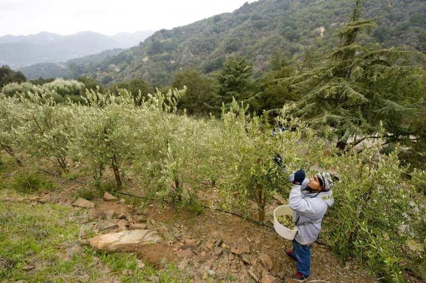 Cesar Alvarado harvests Arbequina olives at Joyce Lukon's Robinson Road Olive Ranch in Topanga.