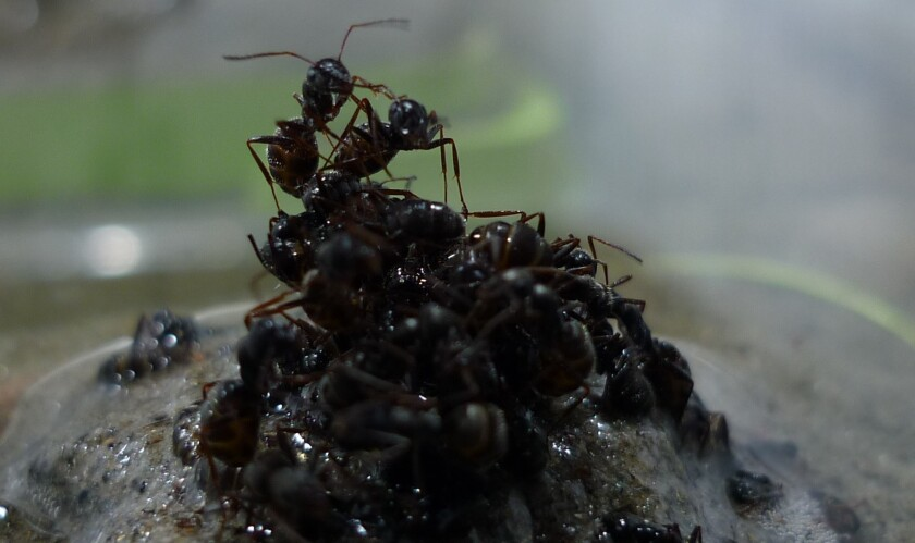 Ants build a raft with their bodies in the face of oncoming waters. A new study in PLOS One shows that adult worker ants place young, helpless brood ants at the base of a raft to help keep the body-boat afloat.