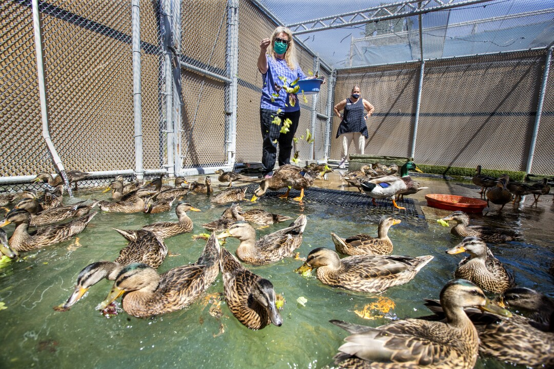 Debbie Wayns feeds donated lettuce to ducks in a pool at the center