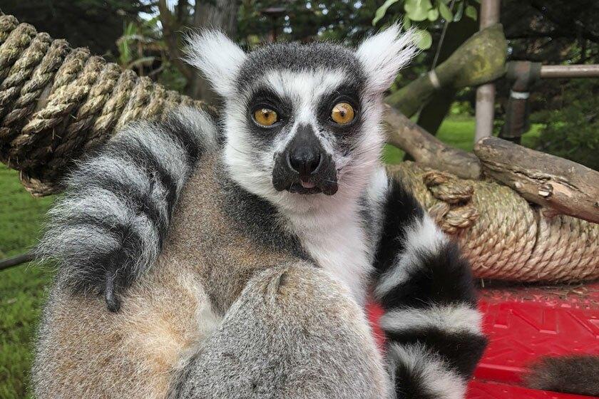 A missing lemur named Maki.