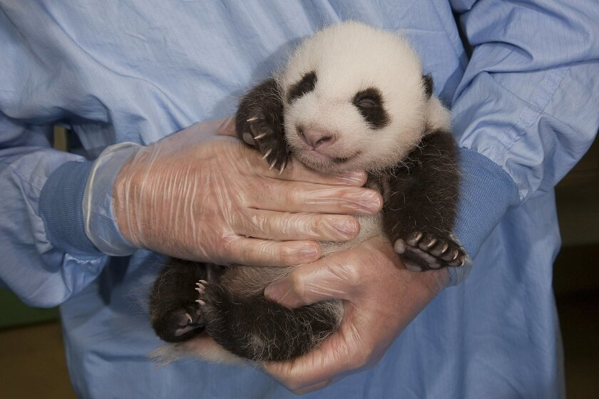 The San Diego's Zoo's 6-week-old giant panda cub went in for his veterinary checkup Thursday. (San Diego Zoo)