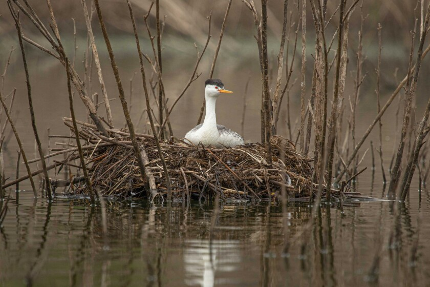 Grebe on Nest
