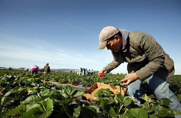 Los Angeles Times writer Hector Becerra picks boxes of strawberries alongside workers in a Santa Maria, Calif., strawberry field.