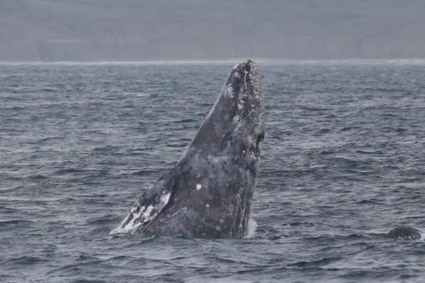 A gray whale begins to breach. The top of its head and blowholes are on the right.
