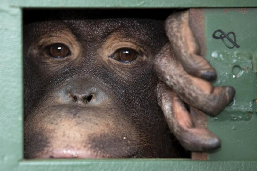 APTOPIX Indonesia Orangutan