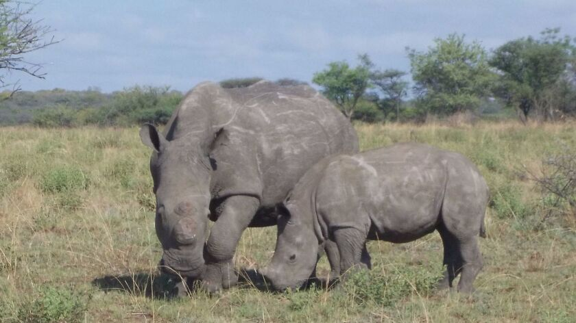 After her mother was killed by poachers, the surviving calf, Charlie, bonded with a young rhino name