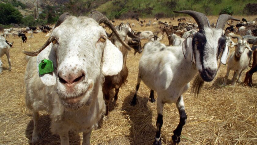 The city of Laguna Beach has previously used goats to clear its brush-covered hills as part of a fire-prevention program. Now, tiny Nevada City, in Northern California, is hoping to launch a similar campaign.
