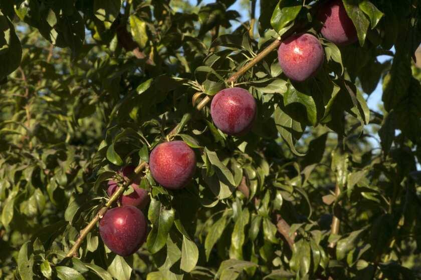 Pixie Sweet cherry-plum hybrids