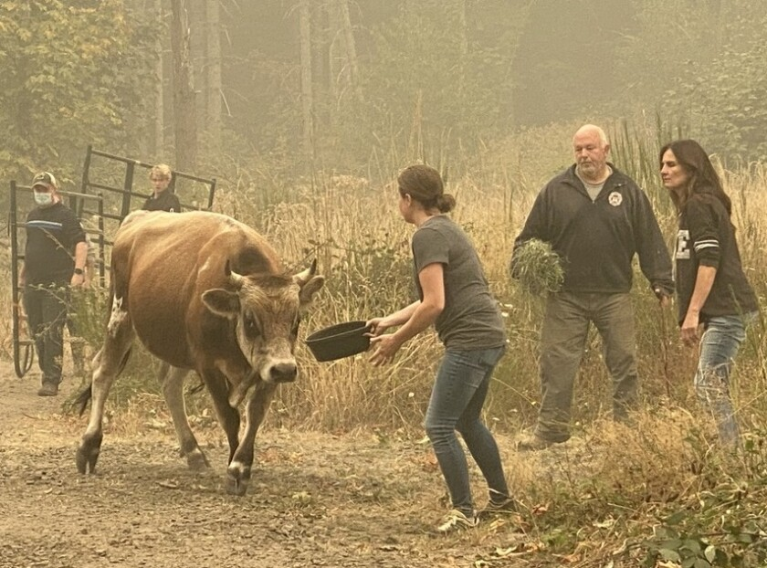Animal rescuers coax a bull to safety for evacuation near Colton, Ore., Friday as wildfire advanced.