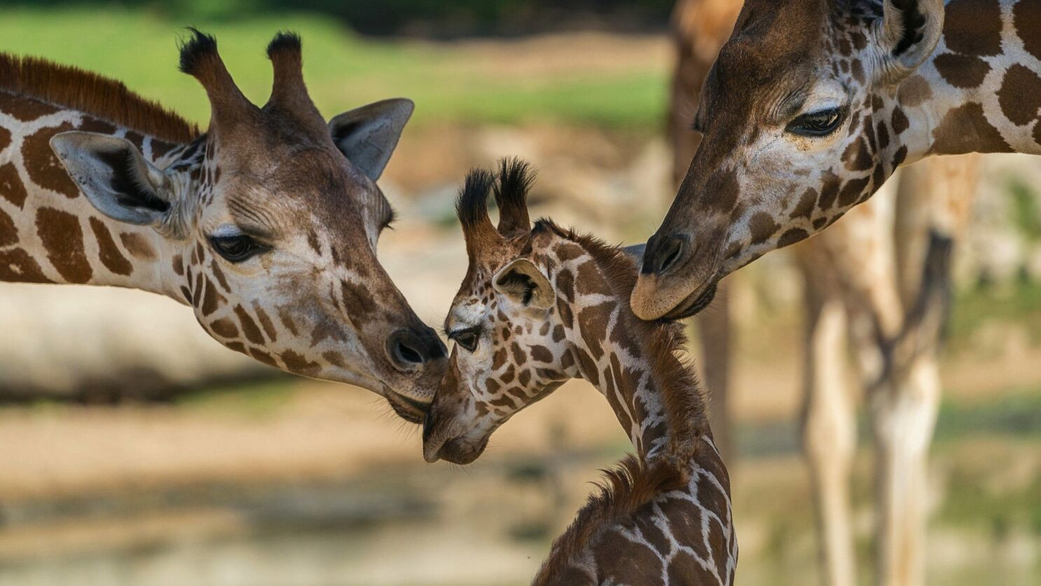 Some giraffe populations critically endangered, while others recover - The  San Diego Union-Tribune