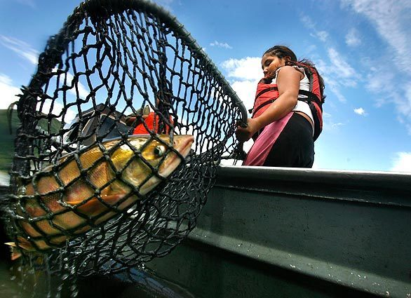 Fayleen Peters Wiehl, 12, nets a salmon caught on the Yukon River in Tanana, Alaska. Native Americans and other subsistence fishermen who live in this tiny town about 700 miles inland rely on the migrating salmon for smoked and dried fish to get them through harsh winters.