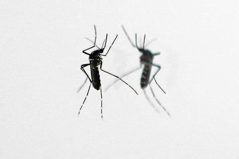 The Asian tiger mosquito, a nonnative species, bites in the daytime. Unlike native varieties, this mosquito can carry serious diseases.