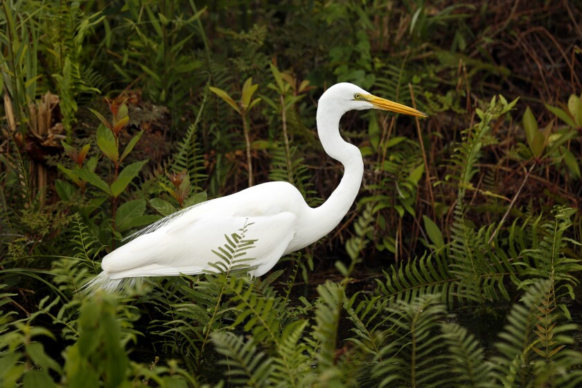 In the Everglades, birds nest near alligators for safety