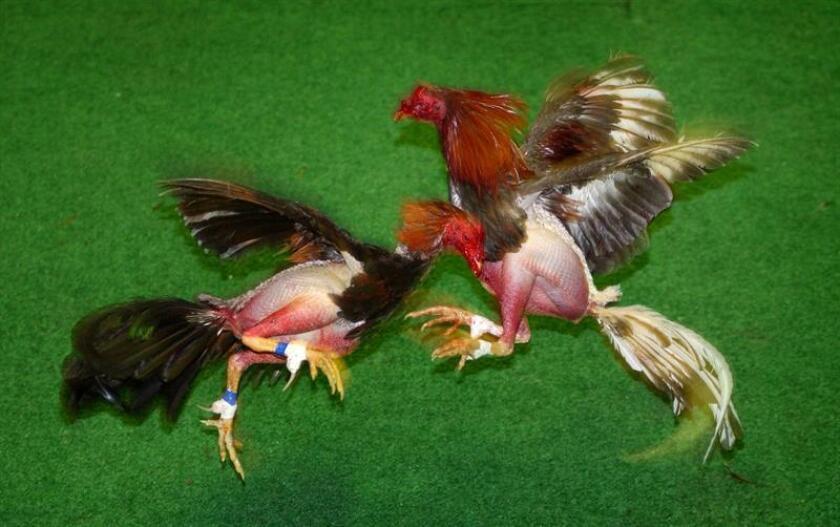 Las autoridades locales y federales de Texas y Arkansas detuvieron el pasado fin de semana a 120 personas acusadas de organizar peleas de gallos en la ciudad texana de Texarkana, informó hoy la Oficina de Control de Inmigración y Aduanas (ICE). EFE/ARCHIVO