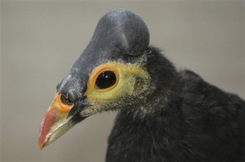 In this undated photo released by the Wildlife Conservation Society, a close-up shot of a Maleo, that can only be found on Sulawesi island in eastern Indonesia, is seen. The U.S.-based Wildlife Conservation Society said Friday, May 15, 2009, that it paid $12,500 for the beach-front property on remote Sulawesi, one of Indonesia's 17,000 islands, to help preserve the threatened species. (AP Photo/Wildlife Conservation Society, Julie Larsen Maher, HO)