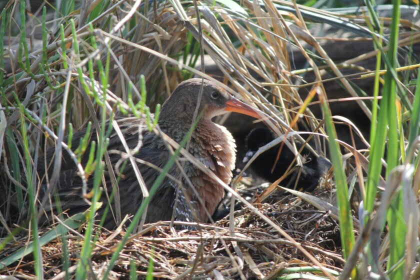 Amelia, a light-footed clapper rail, is raising six chicks this week at her home in the Chula Vista Nature Center. One of the black youngsters hides behind her in the marshy habitat.