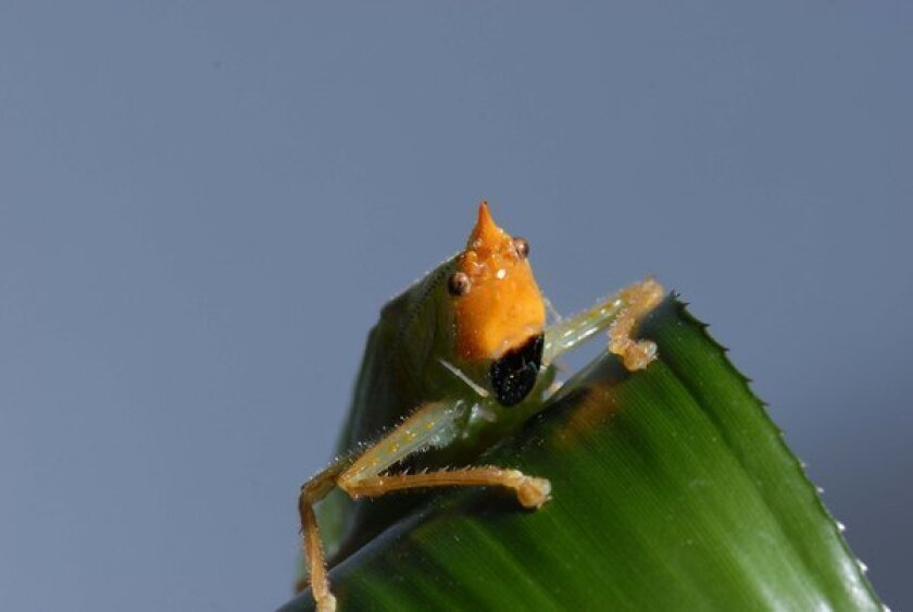 Tiny insect's ears, located on its hind legs, work just like ours