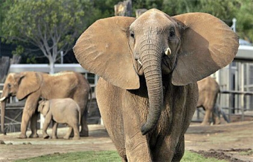 Ndlula, an African elephant at the Wild Animal Park, is among the pachyderms at the park near  Escondido and the San Diego Zoo that have been shedding pounds. (John Gastaldo / Union-Tribune)